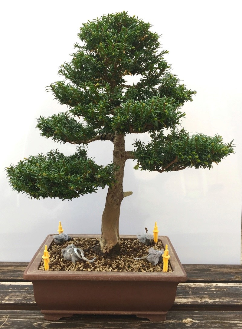 Yew design after 10 years 57040410