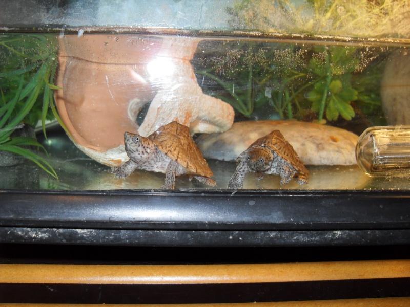 Mes 2 Sternotherus carinatus Sdc10042