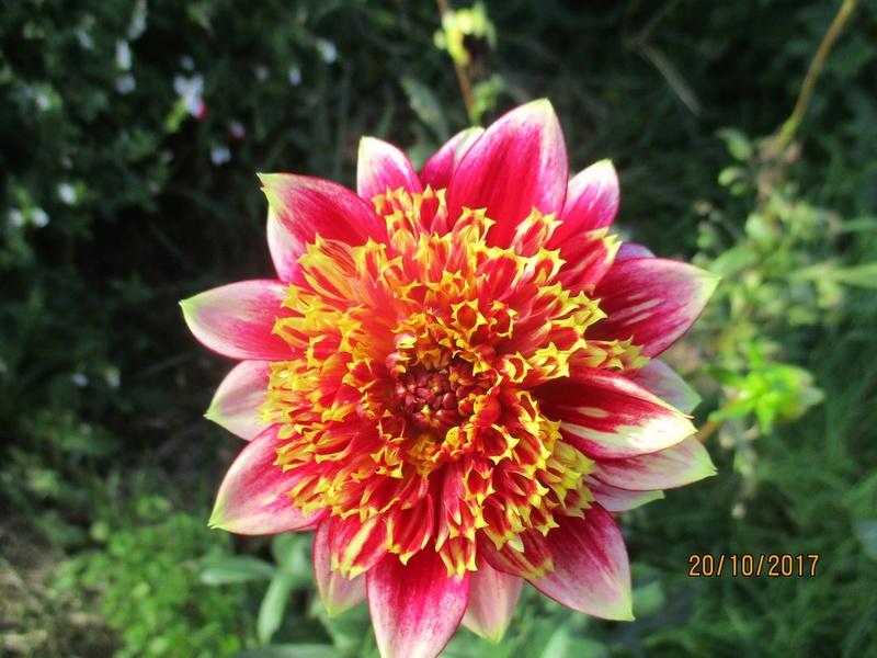 Dahlia - Page 9 Fleurs12