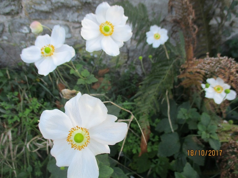 anemones du japon  - Page 4 Jardin93
