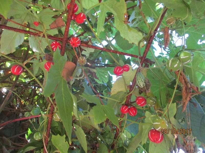 Vigne Lollipop : Diplocyclos palmatus Terra_37
