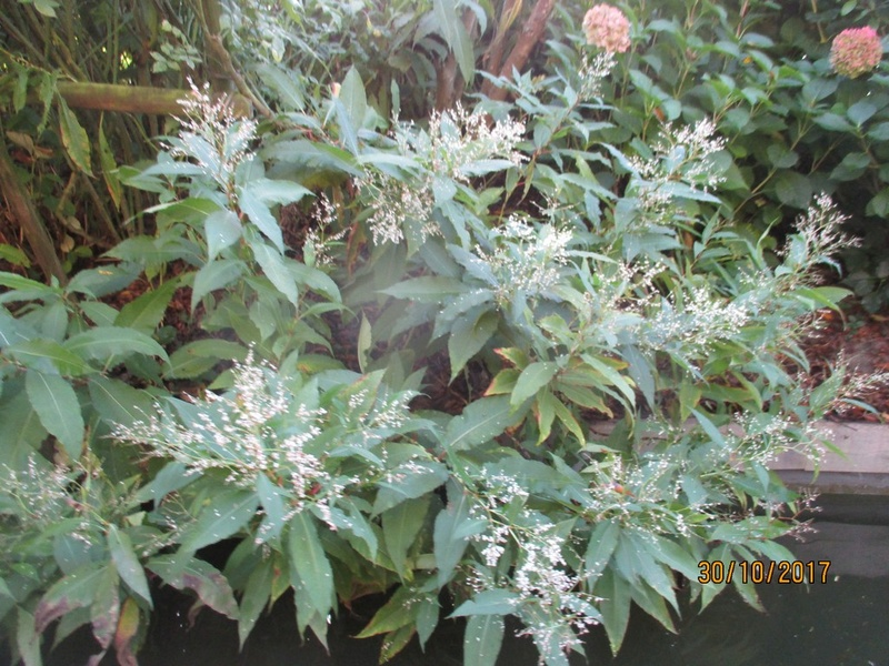 PERSICARIA polystachya (wallichii) Terra_80