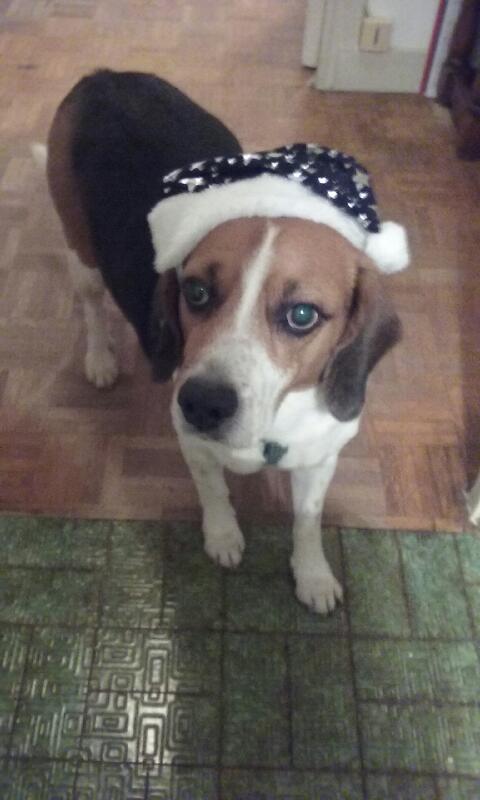Nouvelles de FILOU le beagle- adopté en juillet 2016. - Page 2 1er_ja16