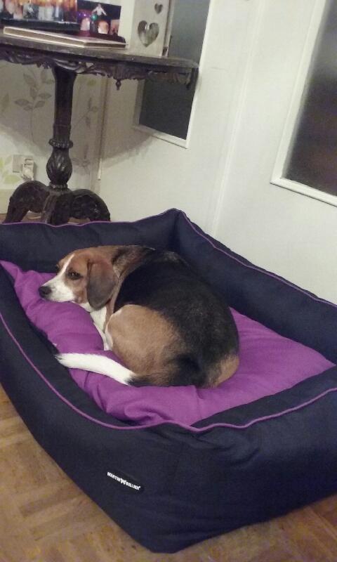 Nouvelles de FILOU le beagle- adopté en juillet 2016. - Page 2 Gysmo_11
