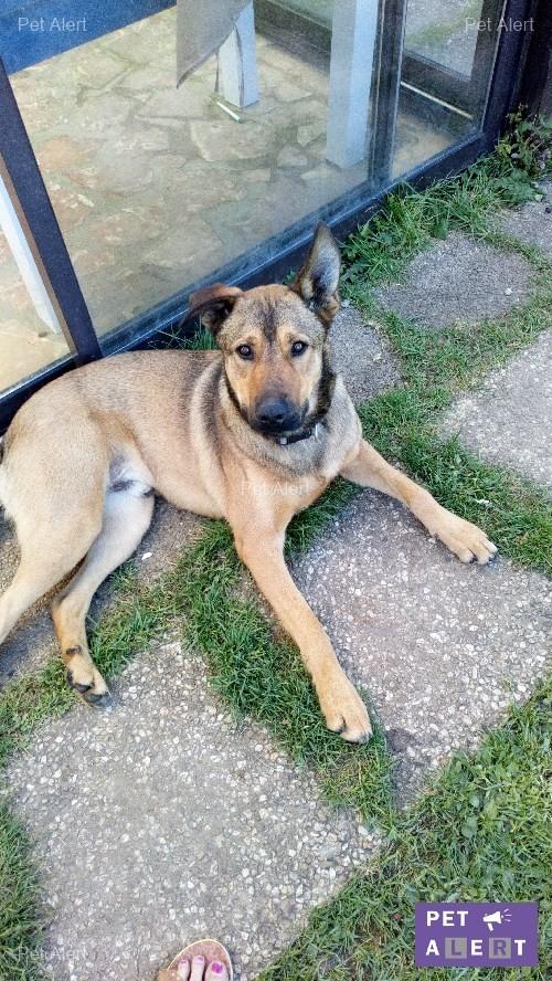 "PERDU ""HIAGO"" chien croisé Berger Belge Malinois à LUZANCY Hiago10"