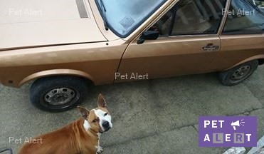 """Perdu """"Kyzer"""" chien type Staffordshire Bull Terrier à NOGENT-L'ARTAUD.......................Retrouvé. Kyzer_10"""