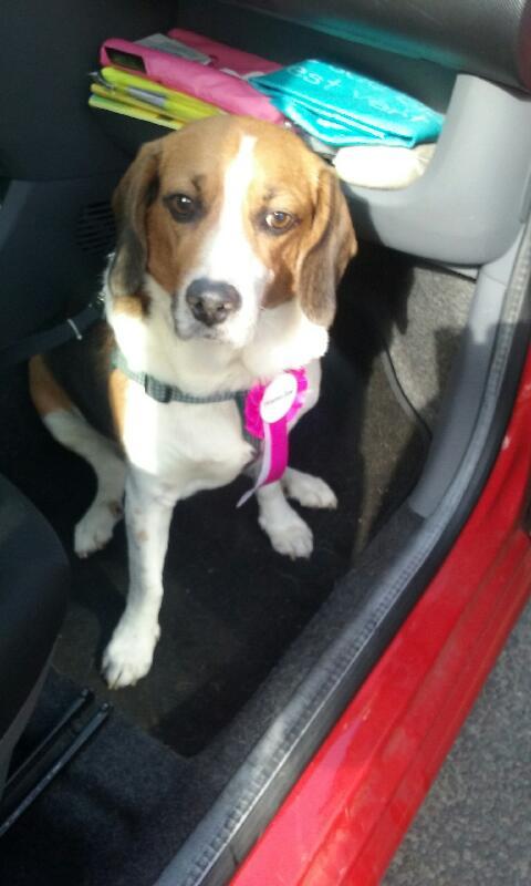 Nouvelles de FILOU le beagle- adopté en juillet 2016. - Page 2 Lolita10