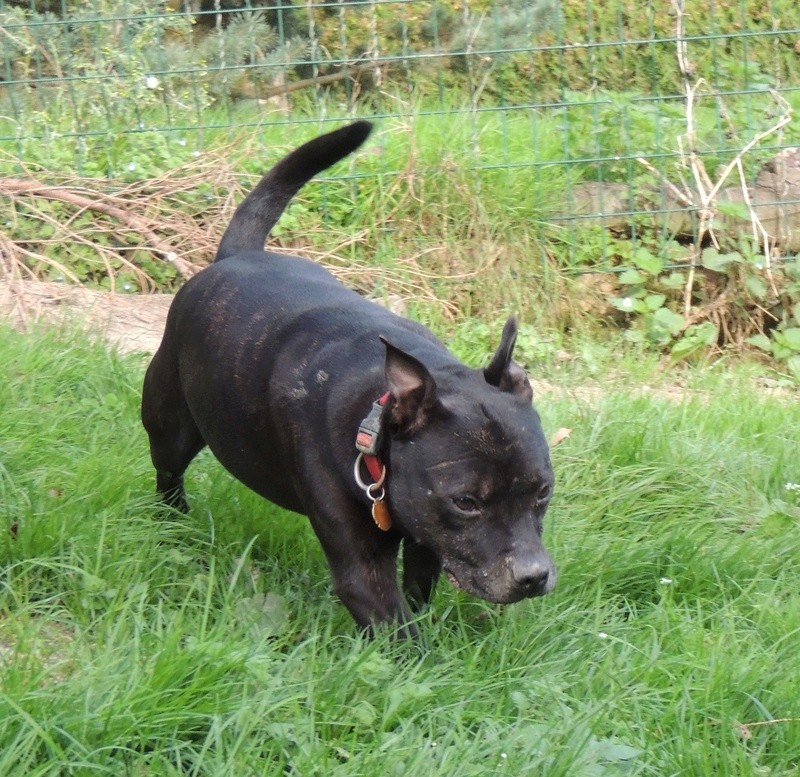 FIDJI Staffie Mercre28