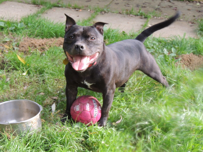FIDJI Staffie Mercre29