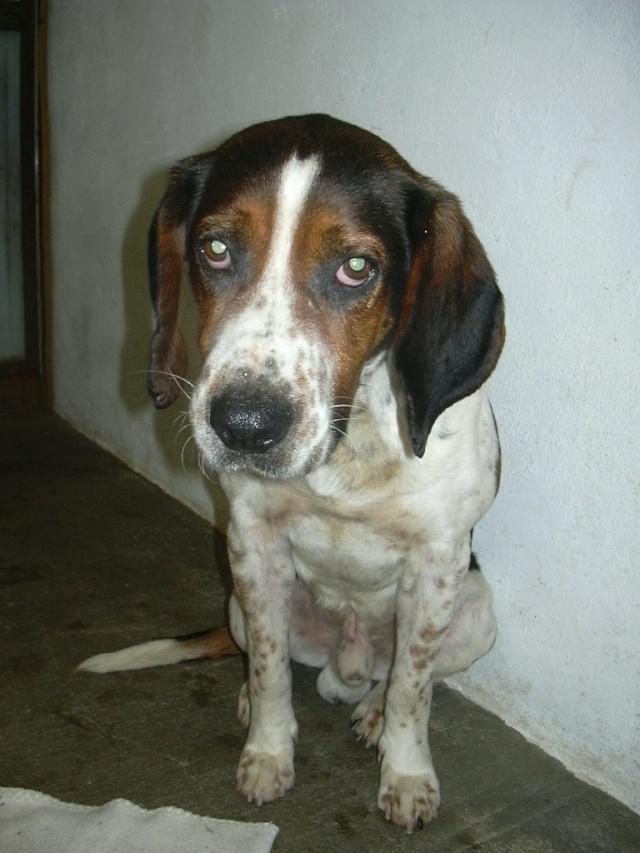 BALTO, croisé beagle/épagneul mâle, 4 ans (79) Balto111