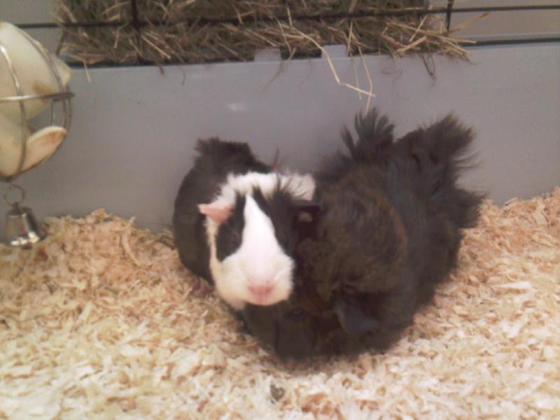 Cochon d'inde, bonne idée ou pas ? - Page 8 Photos10