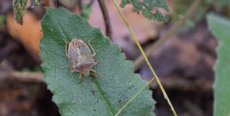 [Palomena prasina] Pentatomidae 12-04-10