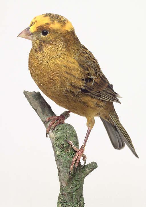 صورلاهم انواع طائر الكناري Uuoous10