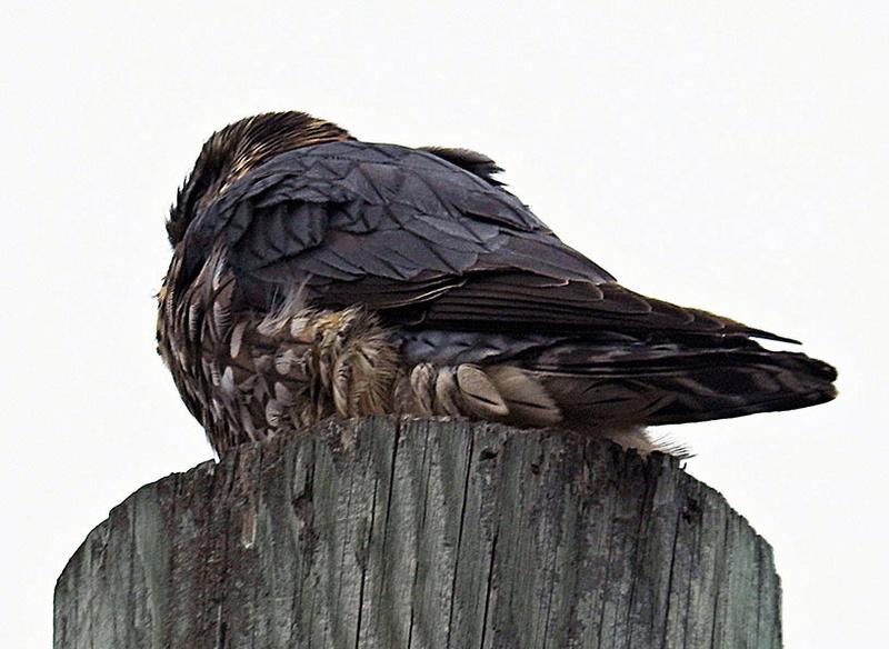 Faucon ou épervier? 00213