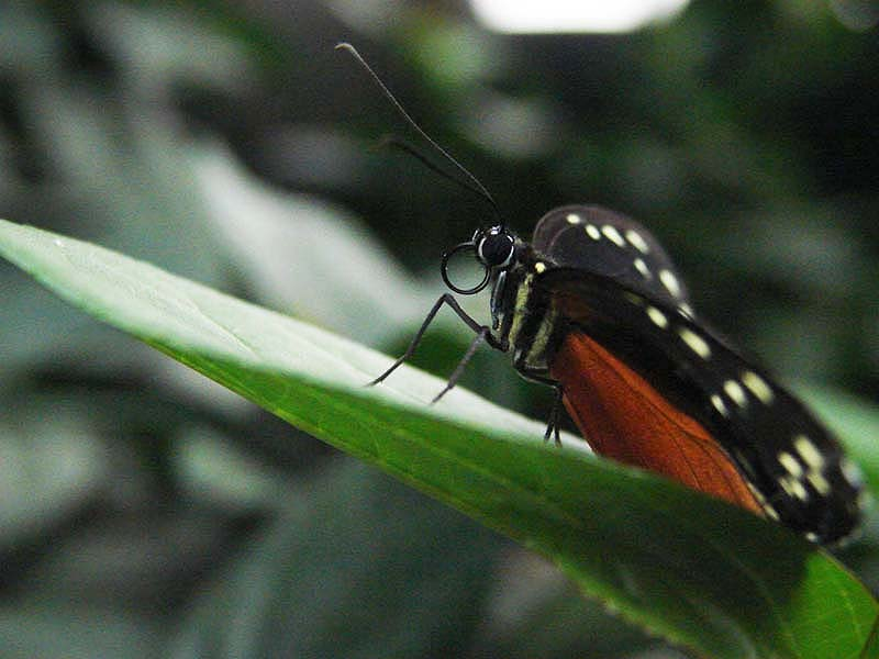 Papillons en liberté 00511