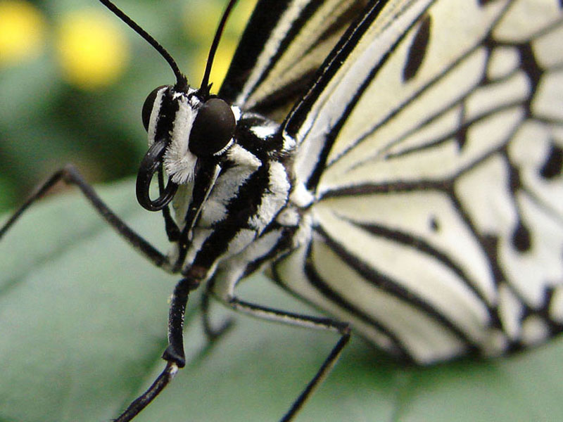 Papillons en liberté 00611