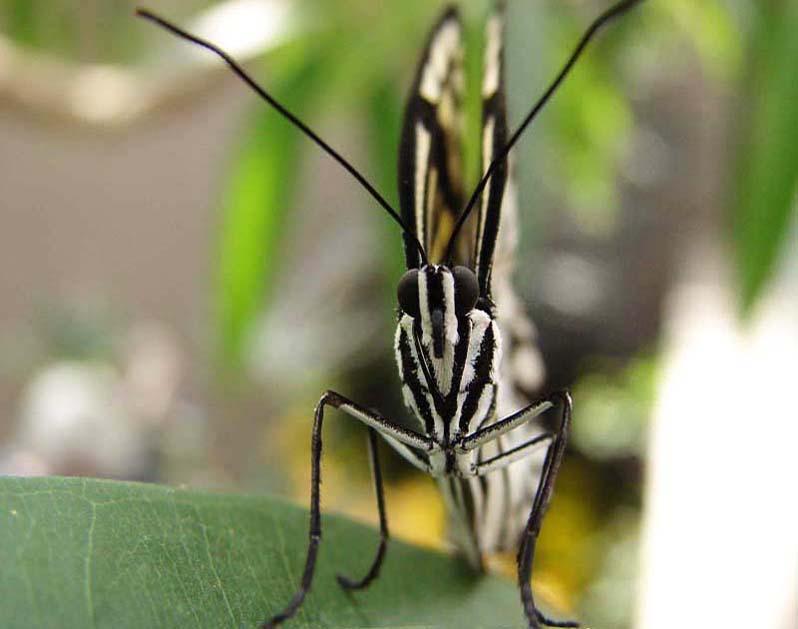 Papillons en liberté 00712
