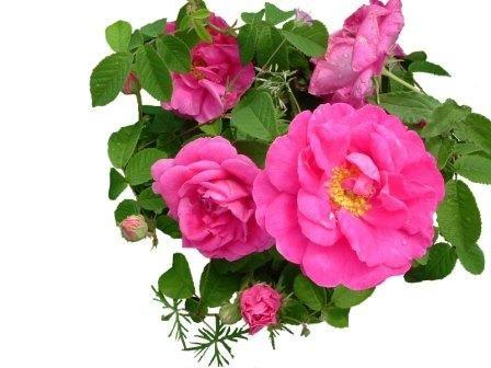 Le Jardin des Simples Roses_10