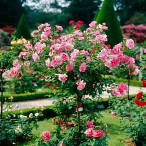 Le Jardin des Simples Rosier10