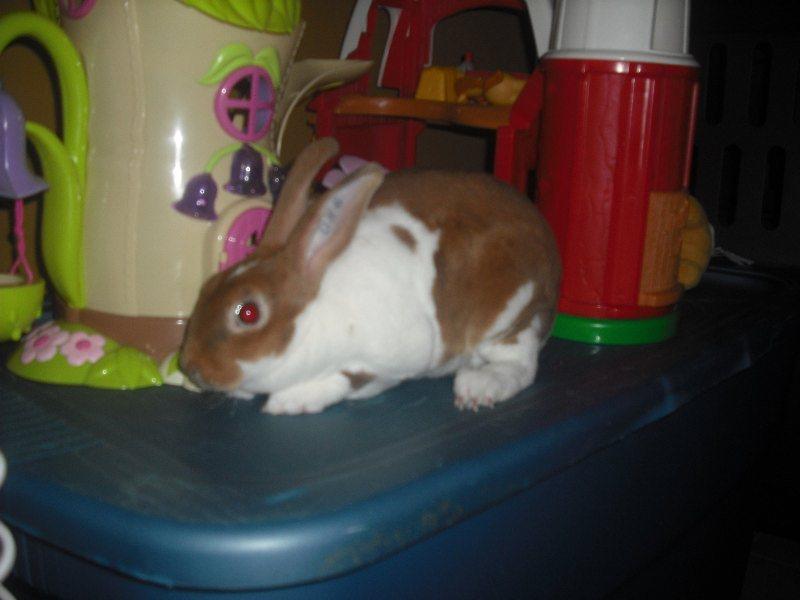 [apprendre à un lapin à faire dans sa lititère, &]Nouvelle lapine 00512