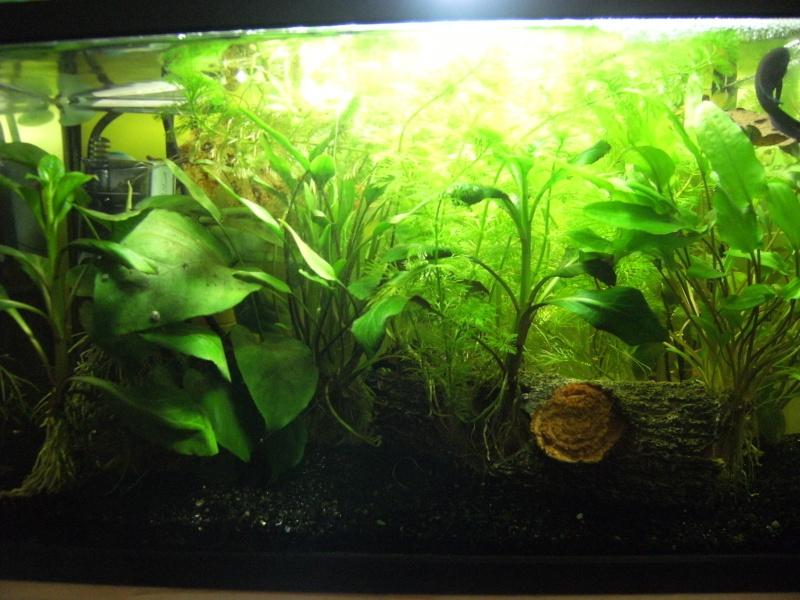 Aquarium Betta Smaragdina Dscf0077