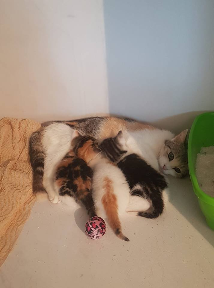Nala, Zira et Vitani chatonnes 1,5 mois de maman errante sauvage 33607310