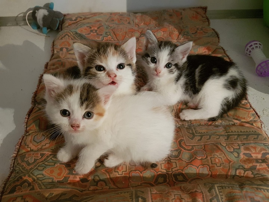 Nala, Zira et Vitani chatonnes 1,5 mois de maman errante sauvage N1210