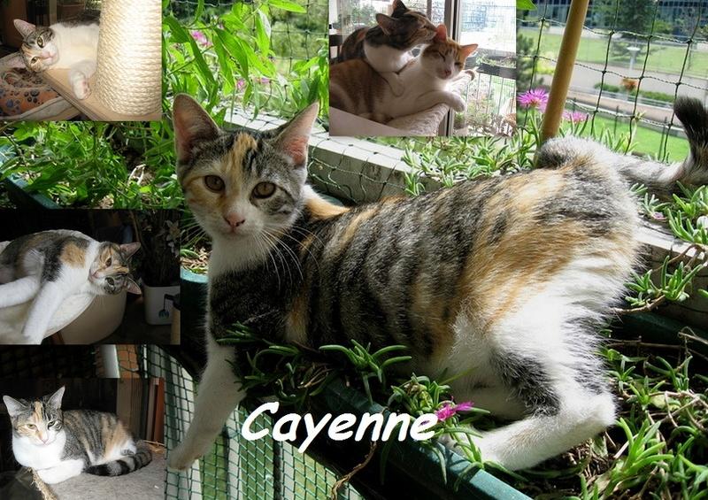 CAYENNE, chat femelle Nouvea19