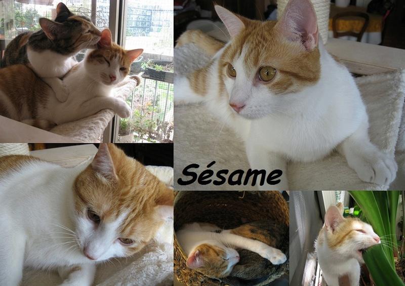 SESAME, chat mâle Nouvea22