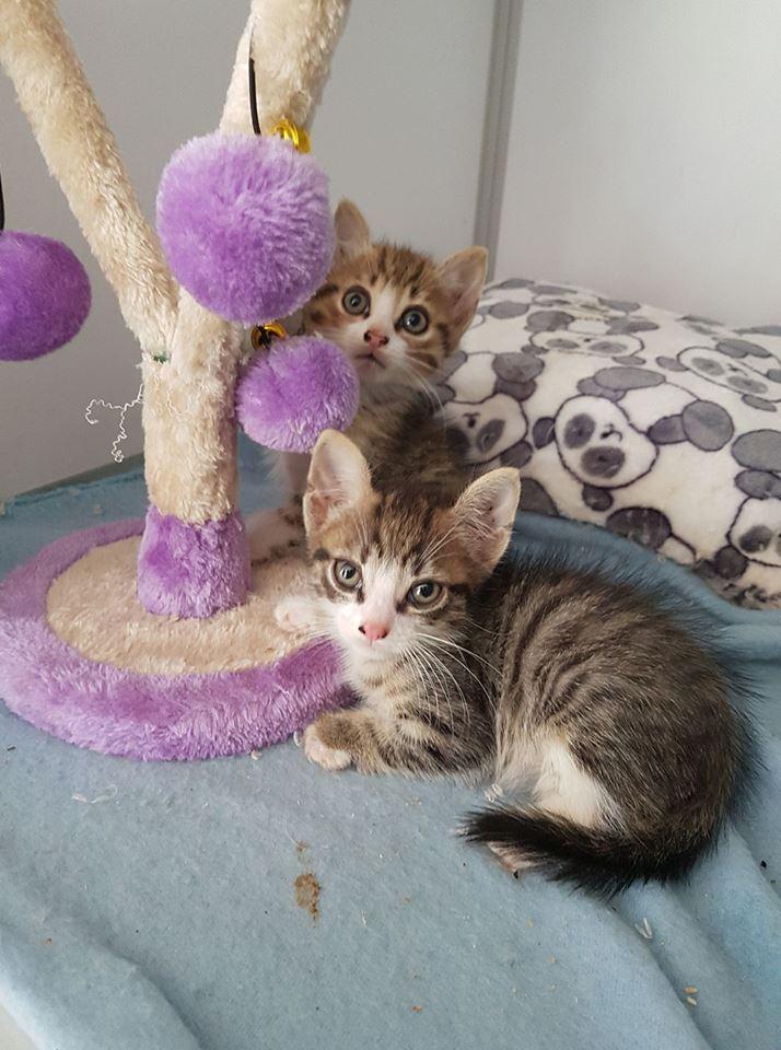 Tweedle Dee et Tweedle Dum chatons malformés des 4 pattes 2 mois Tweedl10