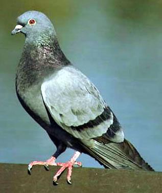 GO MUMBLE Pigeon16