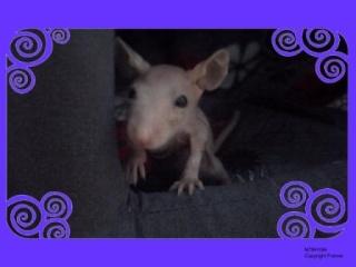 [Animaux] Les voleurs de Miettes, rats domestiques St_sty10