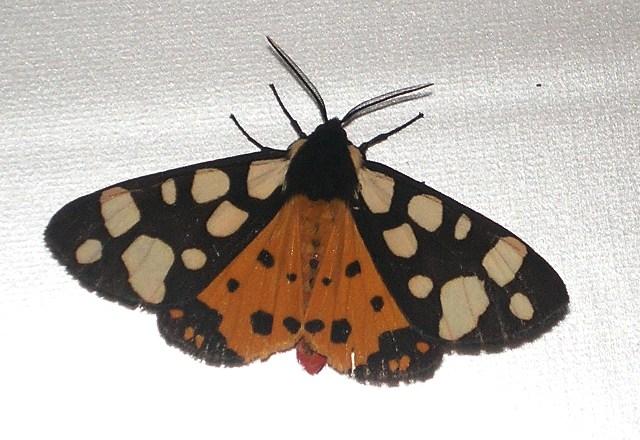 Seste notti europee delle farfalle notturne 21-25 maggio 2009 Arctia10