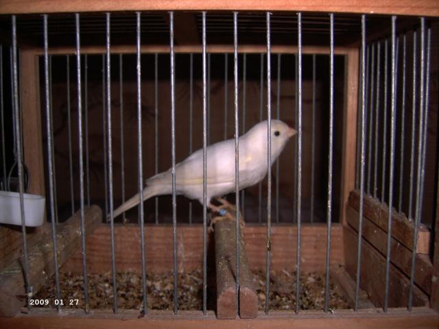le canari malinois blanc 00513