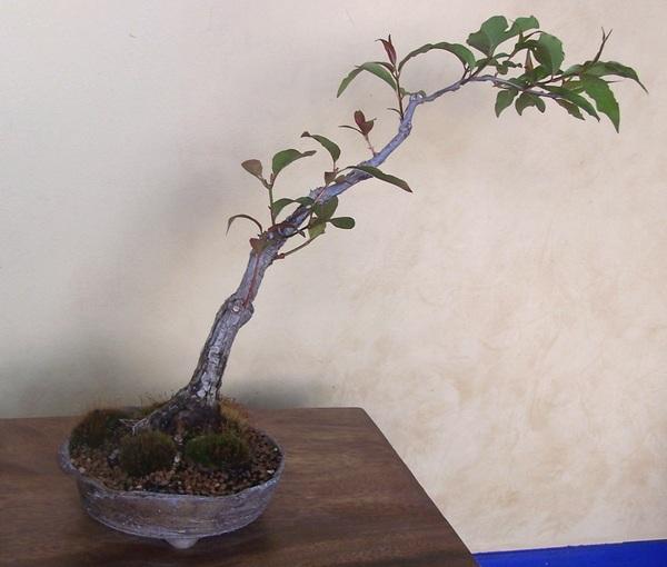 Has anyone else trid ButtonBUSH (Cephalanthus occidentalis) 5-10c11