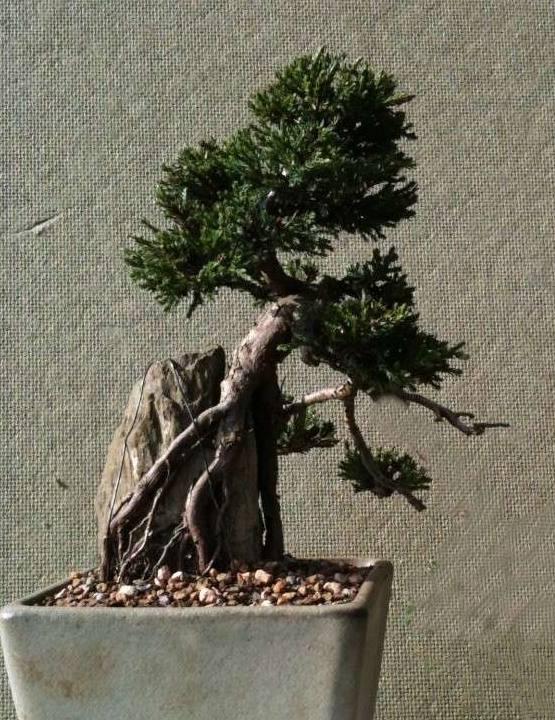 Juniper - Root Over Rock Jun14