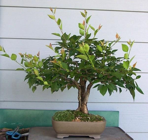 Split trunk Oriental pear - Pyrus pyrifolia Spring10