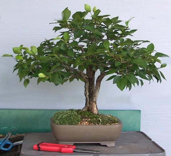 Split trunk Oriental pear - Pyrus pyrifolia Spring12