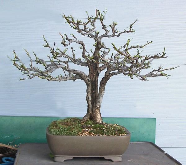 Split trunk Oriental pear - Pyrus pyrifolia Spring13