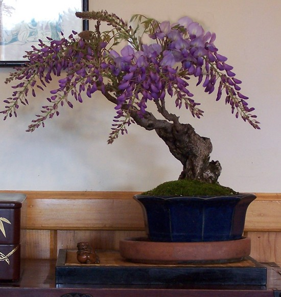 A couple of Wisteria sinensis -- AND update Wister11