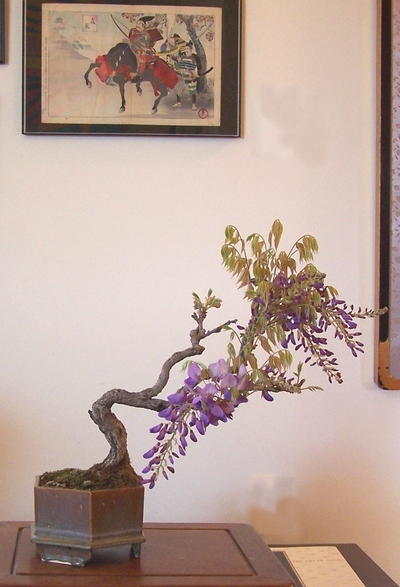 A couple of Wisteria sinensis -- AND update Wister12