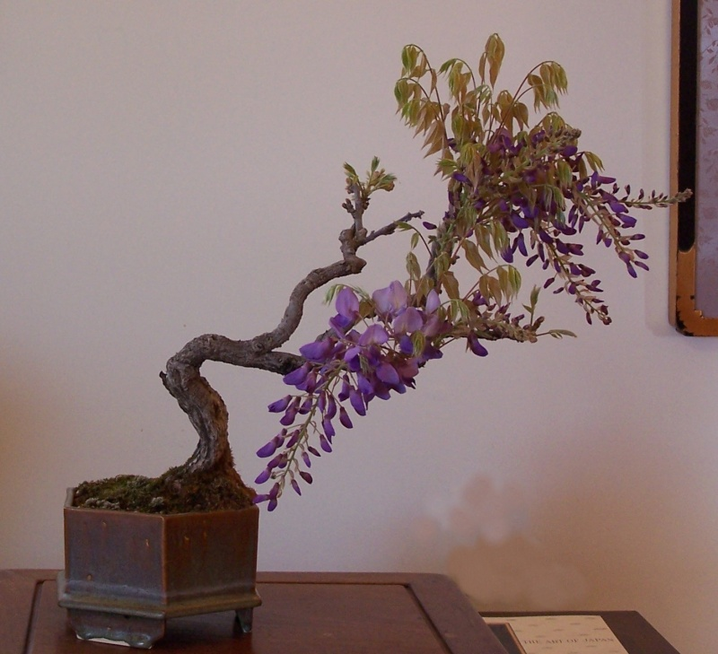 A couple of Wisteria sinensis -- AND update Wister13