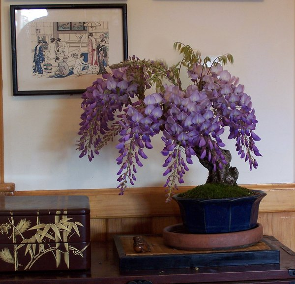 A couple of Wisteria sinensis -- AND update Wister14