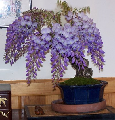 A couple of Wisteria sinensis -- AND update Wister15