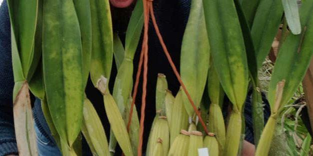 Cattleya purpurata f. flamea 'Dos Ganchos' A_magn10