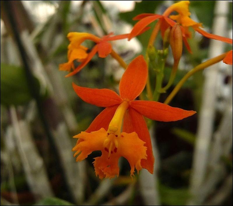 Epidendrum? Epiden10