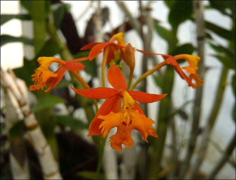Epidendrum? Epiden11