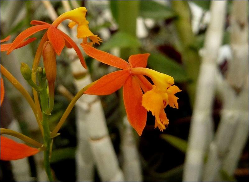 Epidendrum? Epiden12
