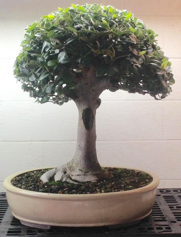 Ficus rubiginosa beginnings - Page 2 Img_0912