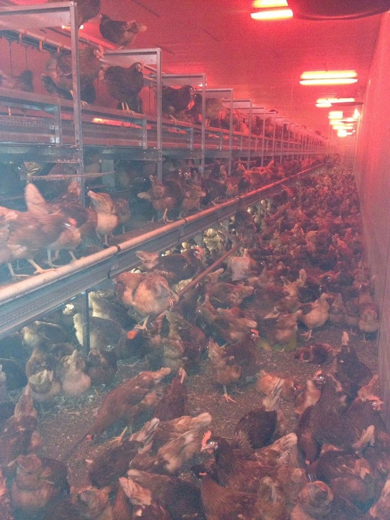 Industrielle Hühnerhaltung 410